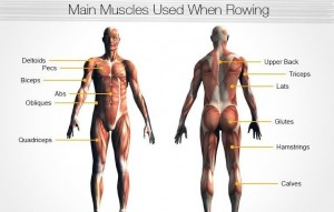 rowing exercise machine workout muscles used
